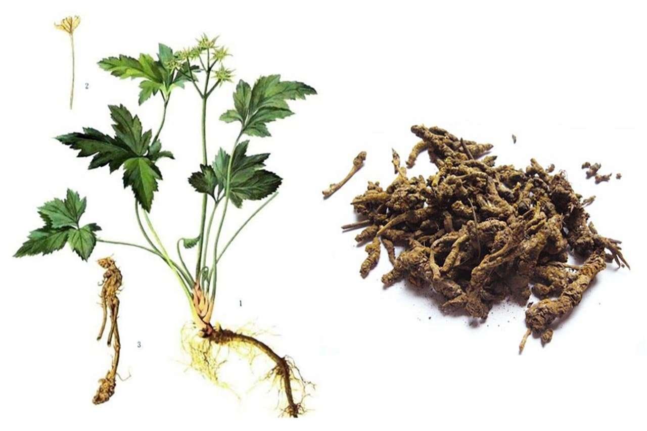 Berberin là hoạt chất chính chiếm hơn 7% trong thảo dược