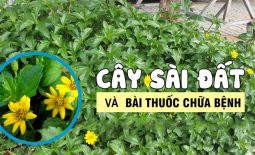 Cây sài đất là dược liệu quý trong Đông y với nhiều công dụng trị bệnh