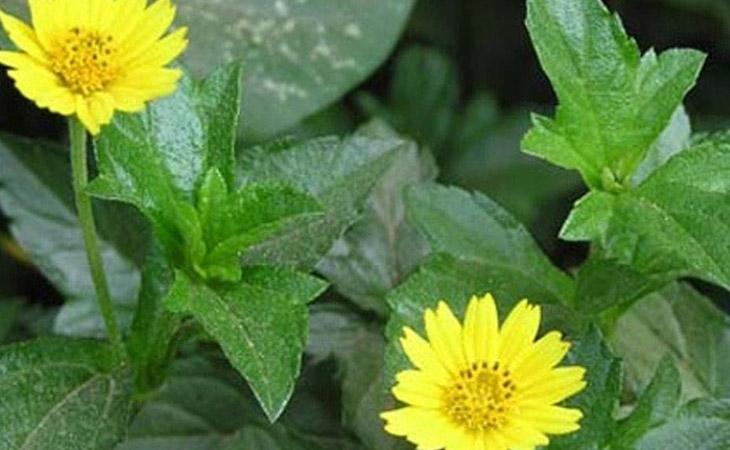 Cây sài đất có thể sử dụng tươi hoặc sấy khô