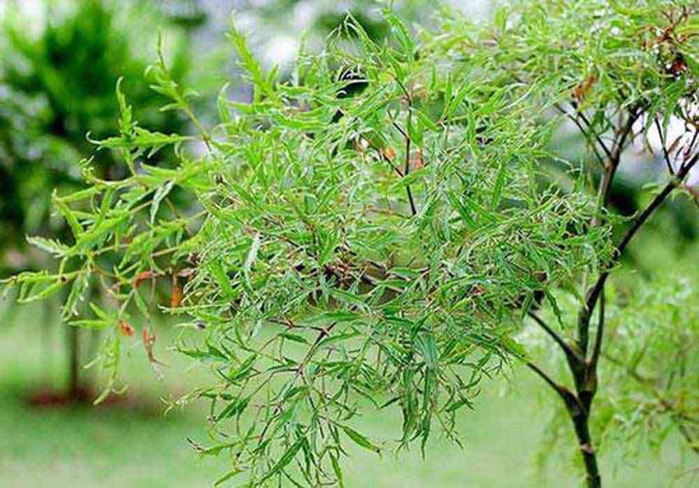 Lá có mùi thơm, được dùng nhiều để làm thực phẩm