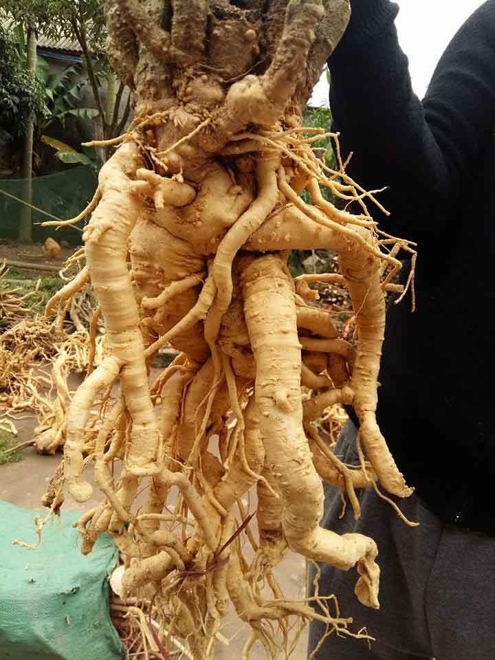 Rễ cây lâu năm có giá trị dinh dưỡng như nhân sâm