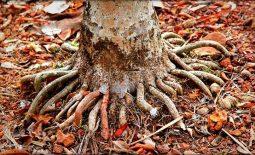 Công dụng chữa yếu sinh lý của rễ cau