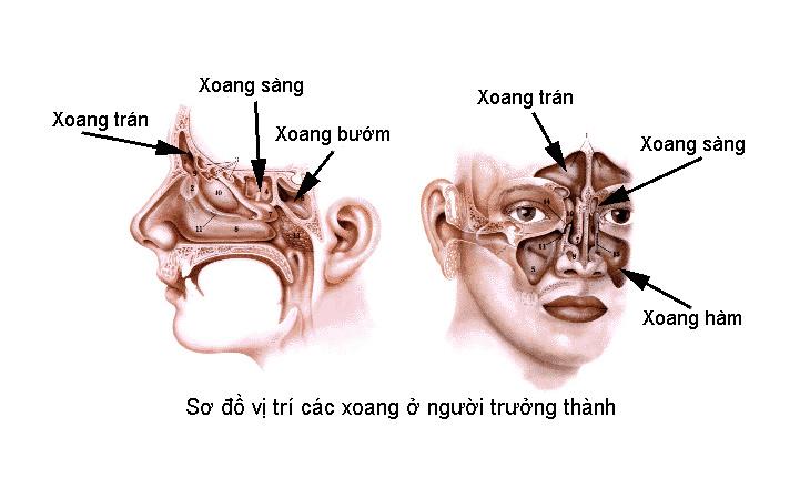 Hình ảnh mô tả vị trí của xoang bướm, người bệnh cần nắm rõ