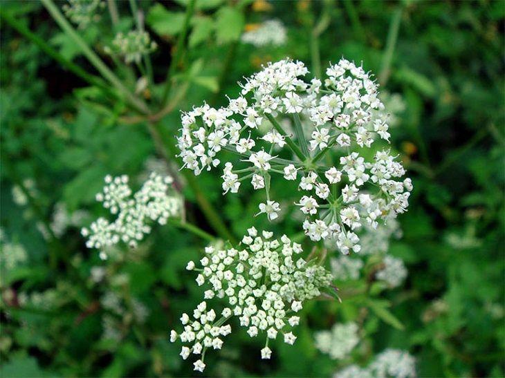 Khương hoạt là thảo dược thường được dùng trong các bài thuốc Bắc