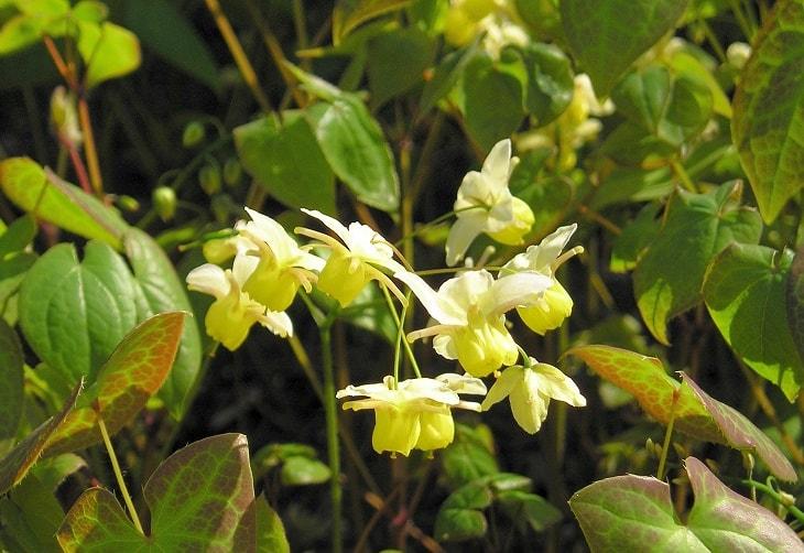 Cây Dâm dương hoắc - vị thuốc Đông y chữa yếu sinh lý nam