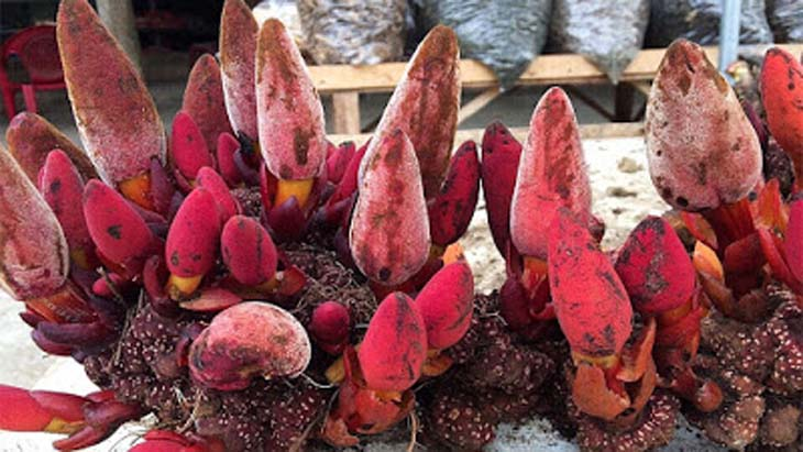 Nấm ngọc cẩu là cây thuốc quý nhiều tác dụng