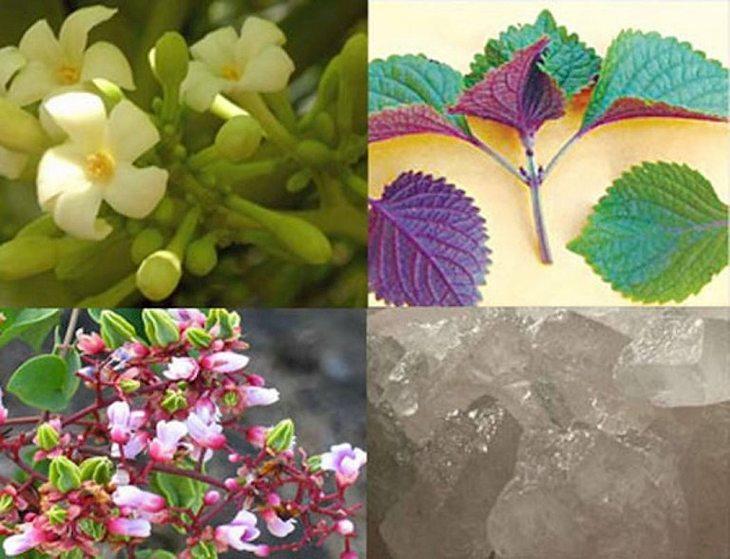 Lá tía tô kết hợp hoa đu đủ đực, hoa khế, đường phèn chữa viêm họng ở trẻ