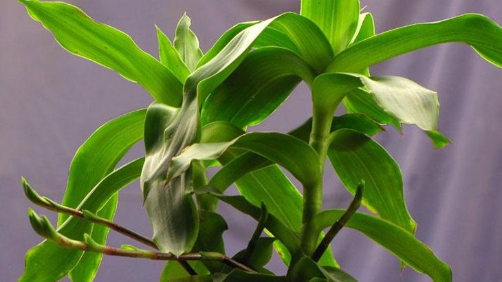 Cây lược vàng còn được gọi là lan vòi, cây bạch tuộc...