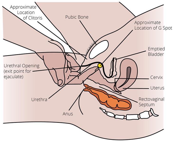 Nằm giữa xương mu và niệu đạo, điểm G kích thích ham muốn ở phụ nữ