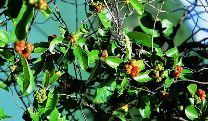 Ba kích loại cây làm thuốc có tác dụng tốt cho sức khỏe