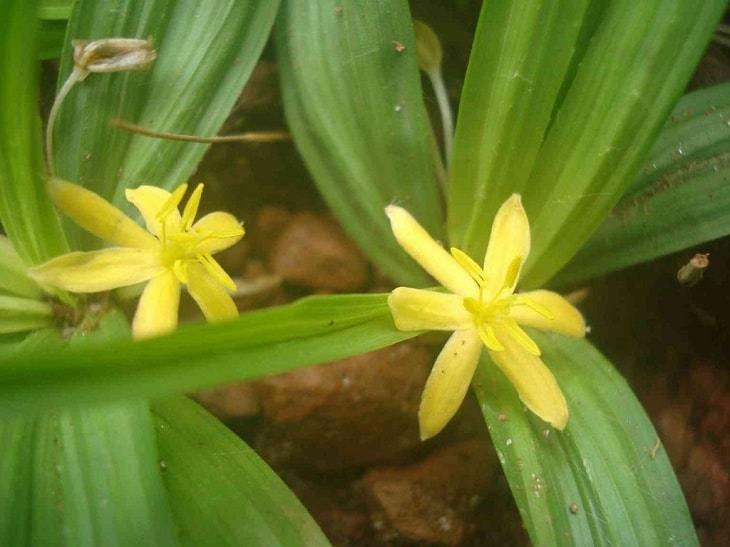 Hoa cây sâm cau màu vàng