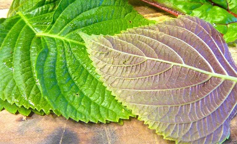 Lá tía tô là thảo dược tự nhiên vô cùng dễ kiếm và tìm mua