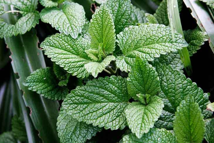 Bài thuốc điều trị amidan với lá cây húng chanh