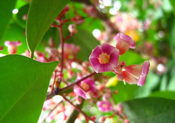 Chữa viêm amidan bằng lá tía tô kết hợp với hoa khế