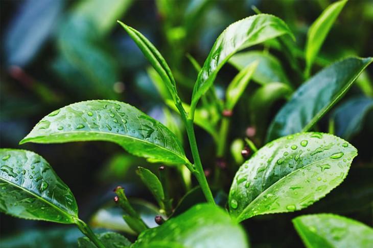 Lá trà xanh có thể kết hợp với muối để tăng thêm hiệu quả điều trị