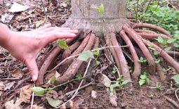 Bất ngờ tác dụng rễ cau chữa liệt dương không phải ai cũng biết