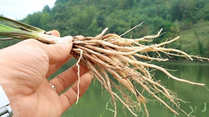 Rễ cây cau có tác dụng gì?