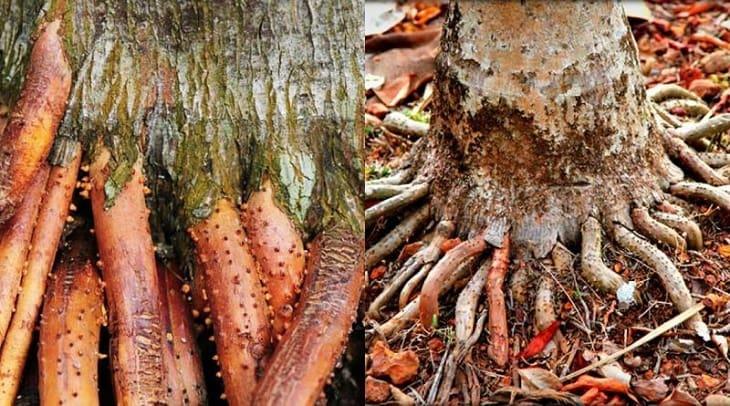 Rễ cây có tác dụng chữa bệnh liệt dương ít ai biết