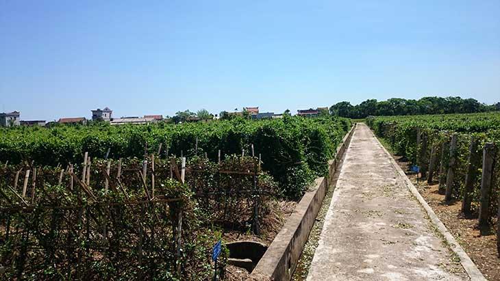 Vườn biệt dược theo tiêu chuẩn GACP - WHO của Trung tâm Đông y Việt Nam