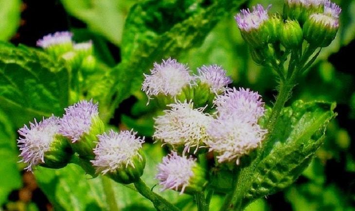 Cách trị viêm xoang sàng tại nhà bằng hoa ngũ sắc ngoài tác dụng chống viêm còn kích thích niêm mạc mũi tăng xuất tiết
