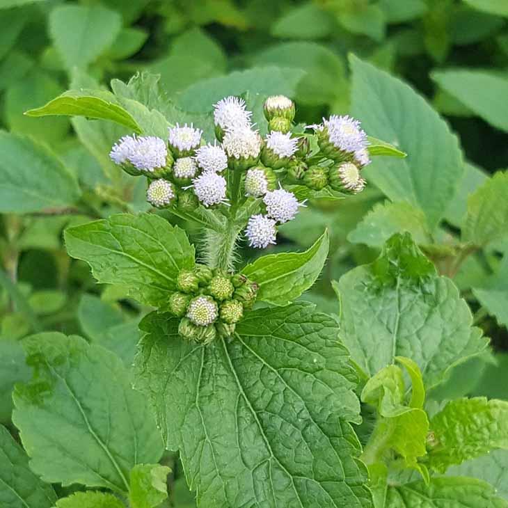 Tác dụng kháng khuẩn của cỏ hôi giúp điều trị hiệu quả triệu chứng hắt hơi, ngứa mũi, viêm mũi