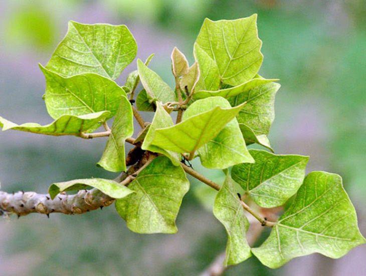 Nghiên cứu chỉ ra rằng lá vông là cây thuốc nam chữa bệnh mất ngủ hiệu quả