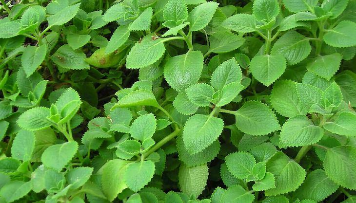 Rau tần cũng là thảo dược thường dùng để trị viêm họng hạt