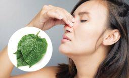 Chữa viêm mũi dị ứng bằng lá lốt có thực sự hiệu quả?