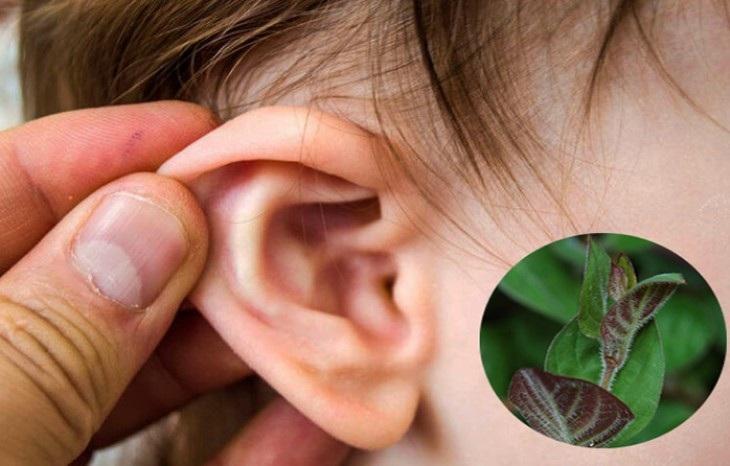Trị viêm tai giữa bằng lá mơ lông
