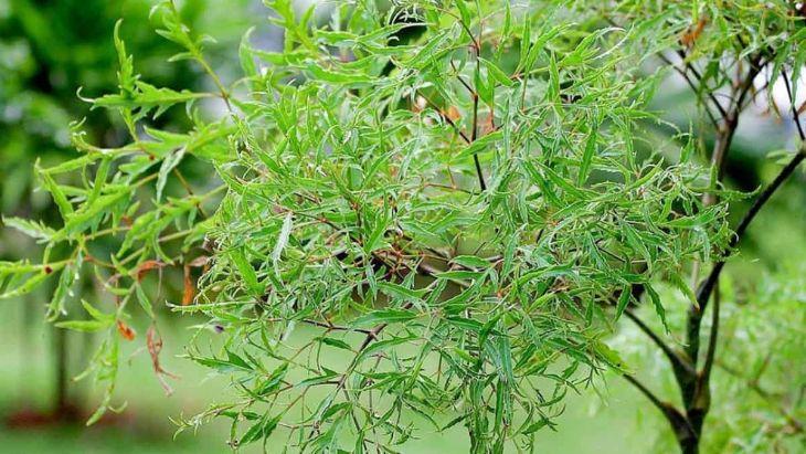 Cây đinh lăng có tính hàn, dùng trong các bài thuốc hoạt huyết