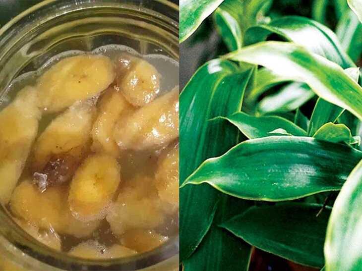 Dấm chuối lá lược vàng trị viêm họng mãn tính rất hiệu quả