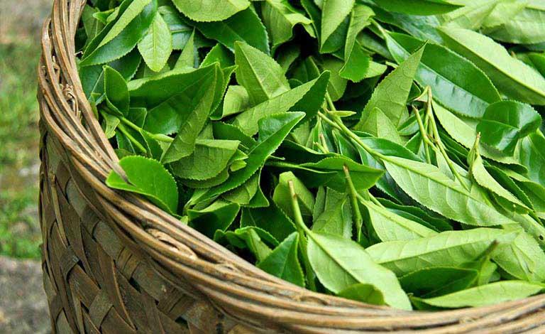 Dùng lá trà xanh giúp giải nhiệt, thanh lọc cơ thể, hiệu quả trong trị mẩn ngứa mùa hè