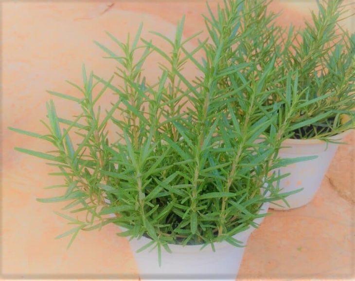 Hương thảo là nguyên liệu pha trà trị mất ngủ có mùi thơm đặc biệt