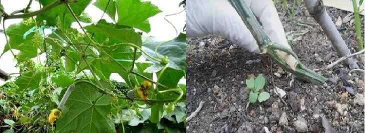 Rễ và thân mướp điều chế thành thuốc rất dễ uống và giảm viêm hiệu quả