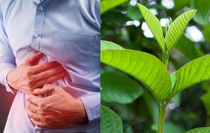 Lá ổi là dược liệu thiên nhiên chữa viêm loét và giảm sôi bụng