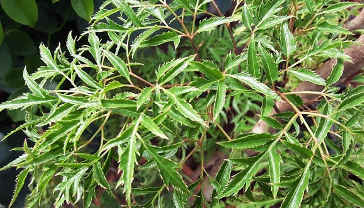 Bài thuốc trị rối loạn tiền đình bằng cây đinh lăng