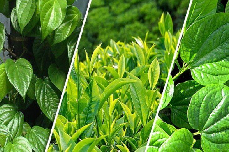 Những loại lá như: lá trầu, lá lốt, lá trà xanh, nha đam,... đều có thể đẩy lùi các triệu chứng bệnh vảy nến