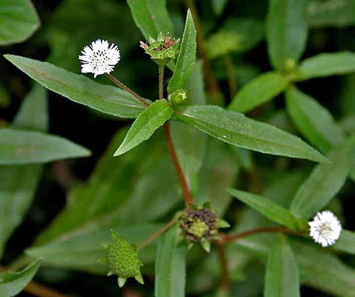 Sử dụng cây cỏ mực để làm dịu cơn đau, kháng viêm, giảm kích thước búi trĩ