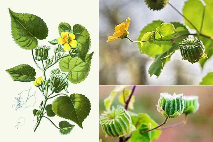 Các bộ phận như lá, thân, vỏ thân, rễ và quả đều có thể được sử dụng để chữa bệnh