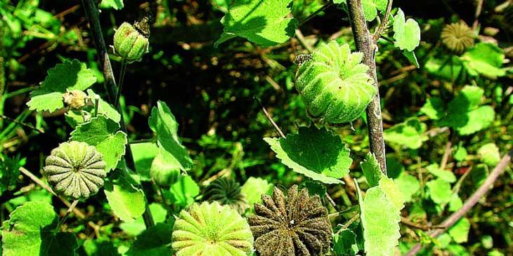 Cây cối xay hỗ trợ điều trị bệnh sỏi thận hiệu quả