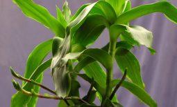 Cây lược vàng chữa viêm da cơ địa