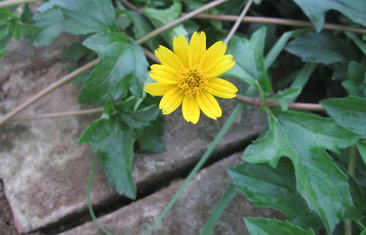 Cây sài đất có thể kết hợp cùng nhiều thảo dược khác để tăng hiệu quả điều trị