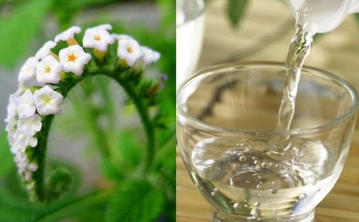 Kết hợp cỏ vòi voi và rượu, giấm cho hiệu quả trị viêm da cơ địa tốt