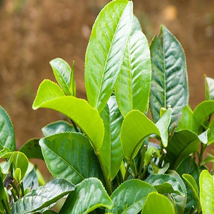 Hình ảnh cây chè dung trong tự nhiên