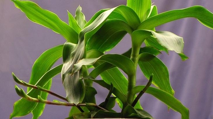 Cây lược vàng có tác dụng chữa vảy nến