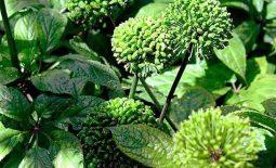 Hoa tam thất - Đặc điểm, công dụng và cách chữa bệnh hiệu quả