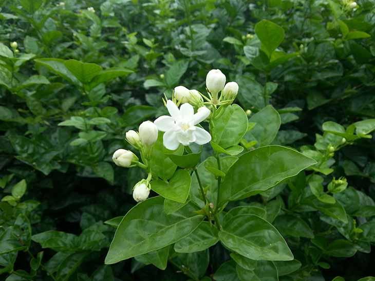 Cây lài hương được nhiều người sử dụng để điều trị bệnh trĩ tại nhà