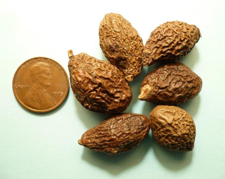 Dùng hạt đười ươi chữa gai cột sống có tốt không?