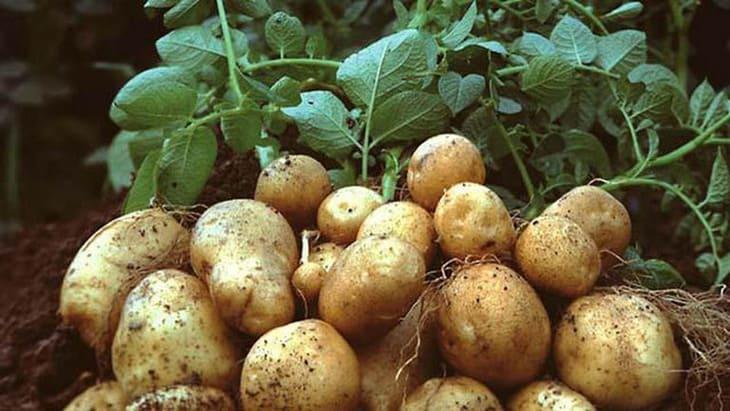 Khoai tây giúp dạ dày đỡ vất vả để tiêu hóa thức ăn