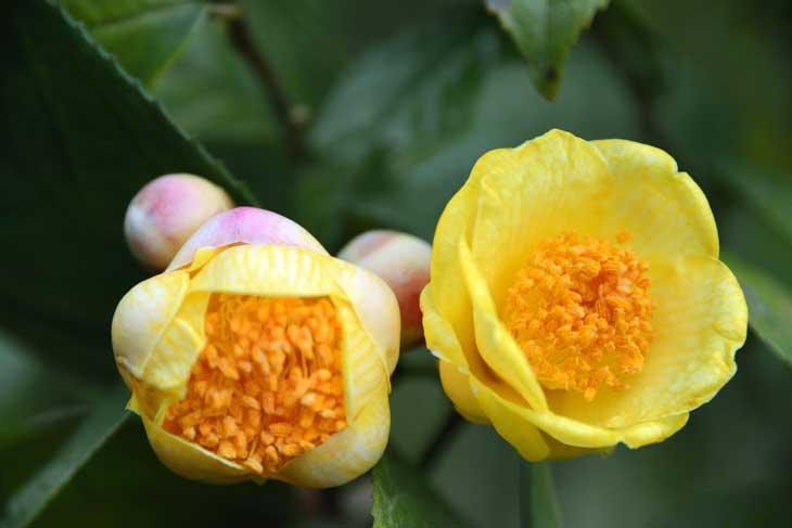 Giống trà hoa vàng Lâm Đồng